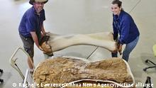 (210608) -- SYDNEY, June 8, 2021 (Xinhua) -- File photo taken on June 1, 2015 shows two palaeontologists carrying a 3D-reconstructed humerus of the Australotitan cooperensis in Queensland, Australia. Australian palaeontologists have unveiled a new species of giant sauropod dinosaur, which is the largest skeletal remains of a dinosaur ever to be discovered in Australia. The new species, Australotitan cooperensis, southern titan, was named after researchers found out it could be stomped into the record books as Australia's largest dinosaur, and it was also firstly discovered nearby the Cooper Creek in Eromanga, a town in southwest Queensland State. TO GO WITH Largest dinosaur skeletal confirmed to be new species discovered in Australia (Rochelle Lawrence/Handout via Xinhua)