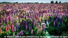 A woman takes a selfie at a lupine field in full bloom near Sollested on Lolland island in Denmark on June 8, 2021. - Denmark OUT (Photo by Mads Claus Rasmussen / Ritzau Scanpix / AFP) / Denmark OUT (Photo by MADS CLAUS RASMUSSEN/Ritzau Scanpix/AFP via Getty Images)