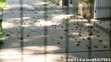 Brood X cicadas, that emerged from the ground 2 weeks ago after 17 years, lay dead and rotten in Jeana and Manooch Saeedi's sidewalk which they cleaned 4 days ago, in Louisville, Kentucky, U.S., June 4, 2021. REUTERS/Amira Karaoud