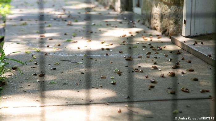 USA Brood X Zikaden schlüpfen nach 17 Jahren