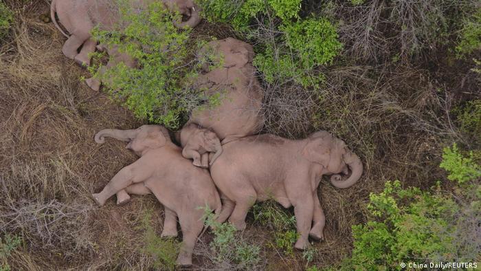 Ovi slonovi iz Kine su postali međunarodne zvezde, ali i velika misterija za stručnjake. Dok odmaraju od teškog puta blizu milionskog grada Kunminga, svi se pitaju zašto su divovske životnje duže od godinu dana na putu dugom 500 kilometara. Poslednje vesti ipak kažu da krdo od 15 slonova polako ide nazad, u šumu rezervata Sihuangbana.