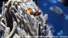 Lateinamerika, Panama, bei Insel Taboga I Anemonenfisch