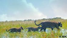 Argentinien Die Rückkehr der Jaguare