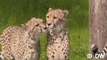 Euromaxx Serengeti Park Geparden