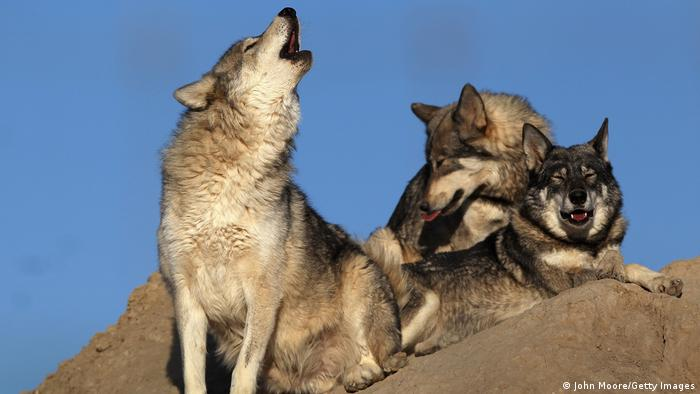Howling wolves at an animal sanctuary in the US