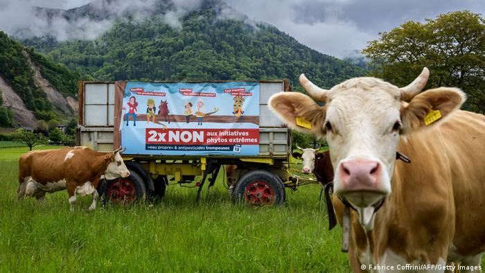 Kühe vor Plakat zum Referendum zu Pestiziden