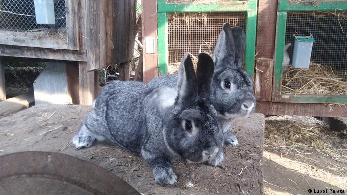 Ausstellungsexemplare der Chinchilla-Kaninchenrasse bei einer Kaninchenschau in Tschechien