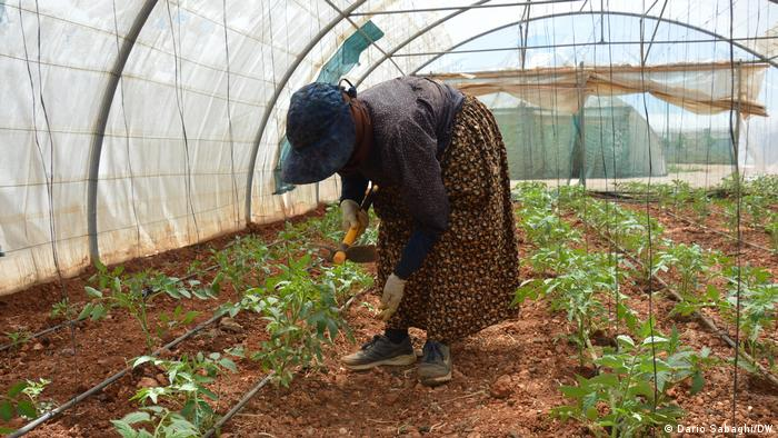 Fatima, works on tomato crops in a greenhouse at Baalbek Community Farm
