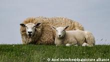 BdT Deutschland Schafskälte im Norden