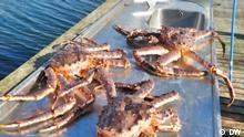 Eco India   King Crab