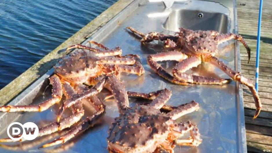 Invasion of the King crabs in Norway