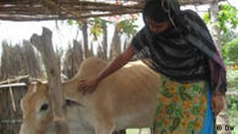 A Bangladeshi woman wearing a sari stands under a shelter, patting a cow