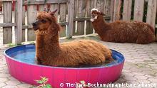 Ein Alpaka-Paar im Tierpark in Bochum. Während Hengst Gerolf (vorne) bei hohen Temperaturen am liebsten im Pool liegt, beobachtet Weibchen Rosi die Szene. (zu dpa: «Alpaka-Hengst Gerolf liebt pinken Pool zur Abkühlung») +++ dpa-Bildfunk +++