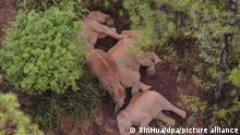 Elefanten liegen am Boden und schlafen. Eine umherwandernde Herde von 15 asiatischen Elefanten sorgt derzeit in China für Aufsehen. In ihrer Heimat bereits berühmt, werden Chinas wandernde Elefanten nun zu internationalen Stars. Weltweit berichten große Medien über den mehr als ein Jahr dauernden, 500 Kilometer langen Treck der Herde von ihrer Heimat in einem Wildtierreservat in der bergigen südwestlichen Provinz Yunnan bis in die Außenbezirke der Provinzhauptstadt Kunming. +++ dpa-Bildfunk +++