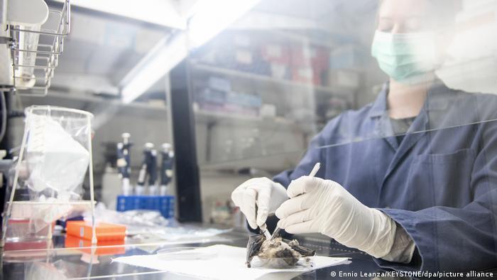 Лаборантка взима проба от прилеп