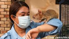 Kambodscha | Ratten als Minensucher