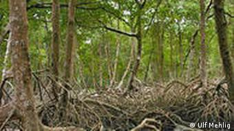 Thick mangrove forest with lots of roots and greenery
