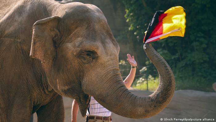 Jašoda je najiskusnija slonica Zoo-vrta u Hamburgu i nije čudo da baš ona predviđa ishode mečeva nemačke reprezentacije na Evropskom prvenstvu. Jašodi pred utakmicu daju dve zastave, i ona izvuče jednu. Pogodila je da će Nemci izgubiti od Francuske, a sada kaže da će pobediti Portugaliju! Fama oko životinja-proroka počela je na Mundijalu 2010. kad je (sada pokojni) oktopus Pol pogodio sve ishode.