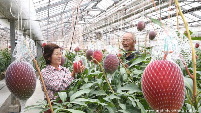 Agricultores de mangos en un invernadero en Takahara, prefectura de Miyazaki, Japón. Los mangos no se cortan cuando se cosechan y los agricultores deben esperarlos hasta que caigan al suelo.