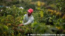 Farmer Joao Paulo Rodrigo, 33, picks coffee beans on his family farm in Forquilha do Rio, municipality of Dores do Rio Preto, Espirito Santo, Brazil, on November 23, 2017. At an altitude of 1,180 meters on the flanks of the Caparao mountains, between the Brazilian states of Minas Gerais and Espirito Santo, farmers are planting Arabica coffee, a specialty that has better quality and price than ordinary coffee. Their beans are sold to the best specialty shops in Brazil and two-thirds of their production is exported to the United States, France, Australia, South Korea, Japan and other countries. / AFP PHOTO / MAURO PIMENTEL / TO GO WITH AFP STORY by Morgann JEZEQUEL (Photo credit should read MAURO PIMENTEL/AFP via Getty Images)