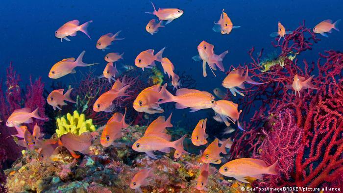 Fish swim in a coral reef off Capri, Italy