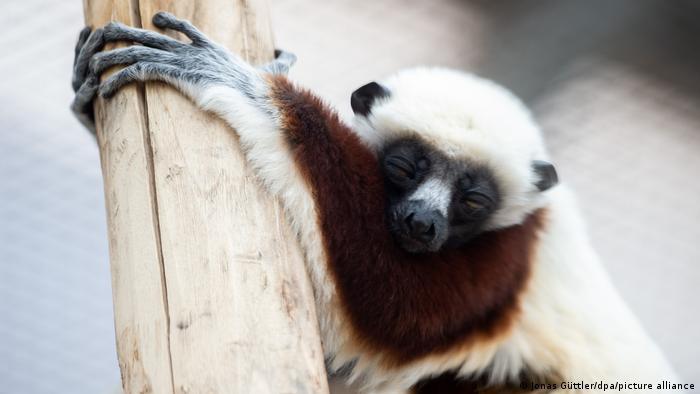 Сифаки Кокереля в Кельнском зоопарке