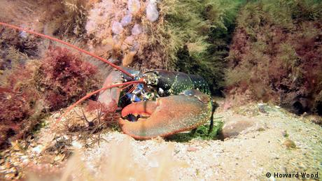 A lobster sitting on a rock underwater