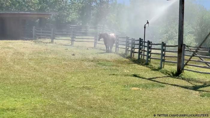 Sprinklers spray water on a horse in Kelowna, British Columbia on June 27