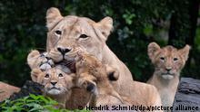 Die Löwenjungen im Zoo Leipzig kuscheln sich um Löwenmutter Kigali. Mit einer kleinen Taufzeremonie haben die vier Löwenbabys am Vormittag ihre Namen erhalten. Die beiden kleinen Katzen und die beiden Kater heißen jetzt Jasira, Juma, Kossi und Kiyan. Die Namen wurden aus 8500 Vorschlägen ausgewählt. +++ dpa-Bildfunk +++
