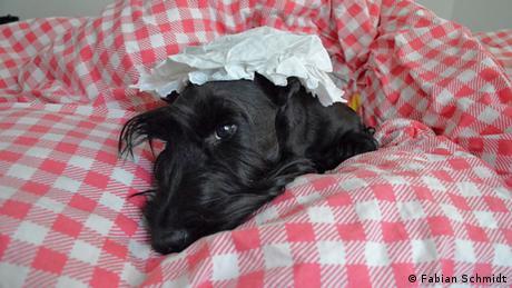Sir Darnley's Ambitious Angus, ein Scottish Terrie, liegt mit einer Schlafhaube/ Nachthaube auf dem Kopf im Bett