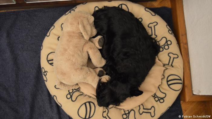 Scottish terrier Sugar rolled up in her dog bed with Goldi, a stuffed toy golden retriever, forming together the symbol of Ying und Yang.