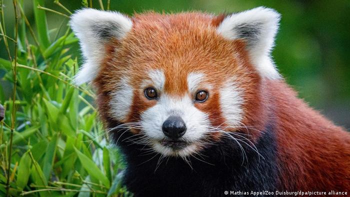 Ovaj mali crveni panda živi u zoološkom vrtu u Dusiburgu i digao je ovih dana na noge ceo grad i šire - jer je bio pobegao. U potragu za njim su bili uključeni brojni ljudi i tehnika, kao na primer dronovi. Nađen je posle dan ipo - u jednoj od visokih krošnji u vrtu.