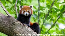 Handout des Duisburger Zoos zeigt einen Kleinen Panda. Der Zoo stellte am Morgen des 1. Juli fest, dass der Kleine Panda Jang aus seinem Gehege ausgebrochen war, und suchte seitdem nach dem Tier. (zu dpa Kleiner Panda vermisst! Zoo Duisburg sucht Bär Jang vom 01.07.) +++ dpa-Bildfunk +++