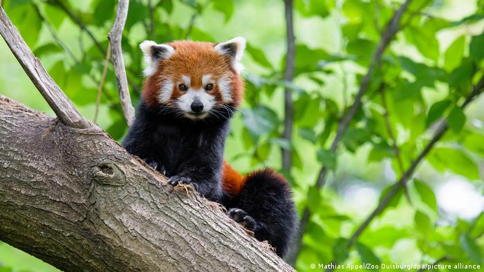 Duisburg Zoo, red panda in the tree