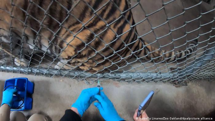 BDTD Kalifornischer Zoo impft seine Tiere gegen Covid-19