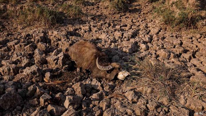 گاومیش از جمله پستانداران اهلی و کنارزی در تالاب است که اکثرا در نواحی ساحلی آن دیده میشود. گراز، سگ آبی یا خفاش از دیگران پستانداران موجود در هورالعظیم هستند. گاومیشها از عطش و تشنگی مردهاند.