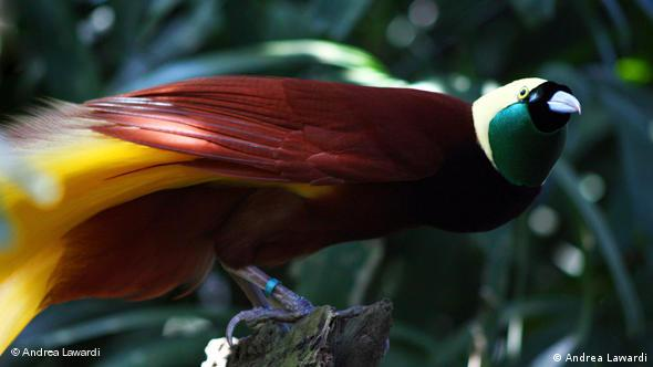 Paradisvogel
