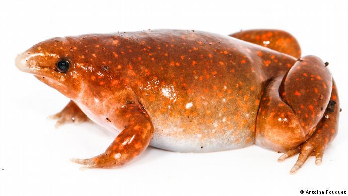 Anfibios como la rana zombi se encuentran entre los animales más amenazados del mundo, incluso en entornos prístinos como el Escudo Guayanés en el Amazonas.