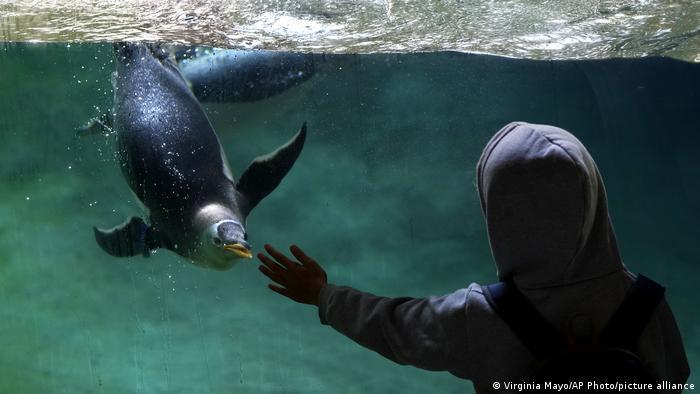 Dečak se igra sa pingvinom u zoološkom vrtu Pairi Daiza u Belgiji. To je jedan od najvećih zooloških vrtova u Evropi, a nedavno je svoju populaciju životinja proširio za deset papuanskih pingvina.