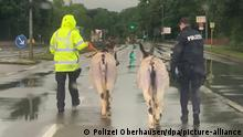 RECROP- Polizisten geleiten zweiausgebüxte Esel zurück zu ihrem Gehege im Kaisergarten. (zu: «Esel laufen auf Autobahn-Abfahrt - Polizei bringt sie in Sicherheit», bestmögliche Qualität) +++ dpa-Bildfunk +++