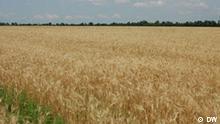 Getreidefeld in der Ukraine, Sommer 2010 Bild: DW