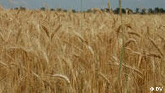 Getreidefeld in der Ukraine