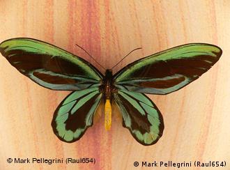 A borboleta Rainha Alexandra, da Nova Guiné, é a maior do planeta