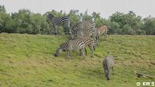 A group of Zebras grazing in Naivasha, Kenya Photographer: Kennedy Ovita – Communications, Kenya Wildlife Service (KWS) Date: 09.07.2021 Location: Nakuru, Kenya