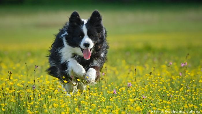 Todos los 7 perros que mostraron este talento excepcional fueron border collies.
