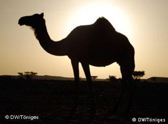 Thema: Das Sultanat Oman setzt für die Zeit nach dem Öl auf Tourismus  BU: Tausenundein Kamel: Ob dieses Kamel schont ahnt, dass es bald Touristen wird tragen müssen?   Foto: Sven Töniges