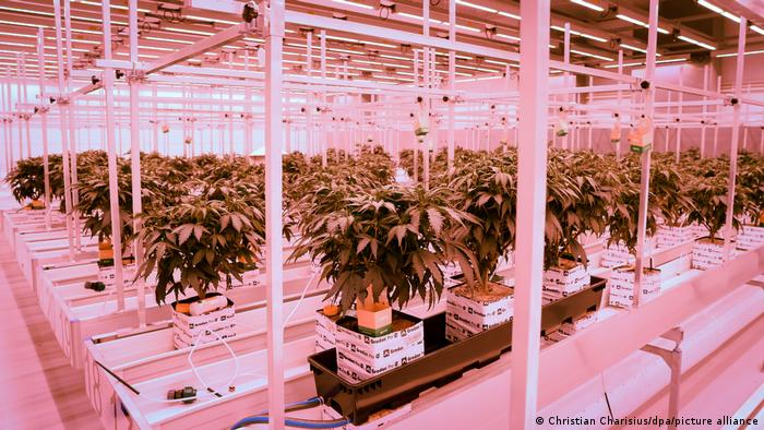 Growing cannabis at Aphria's plantation in Neumünster, Germany