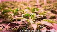 Cannabisplanzen stehen im Blühraum einer Produktionsanlage von Aphira für medizinisches Cannabis. Hoch gesichert und hinter dicken Stahlwänden simulieren LED-Lampen in acht Blühkammern Sonnenauf- und -untergänge bei idealen Wachstumsbedingungen. (zu «Plantage für Cannabis-Heilpflanzen »sicher wie Fort Knox«»)