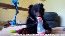 A six-month-old Asian black bear cub named Daboo is seen after rescued, at the premises of Wildlife Management Board in Islamabad, Pakistan, June 4, 2021. Picture taken June 4, 2021. Anees Hussain/Islamabad Wildlife Management Board (IWMB)/Handout via REUTERS THIS IMAGE HAS BEEN SUPPLIED BY A THIRD PARTY. NO RESALES. NO ARCHIVE. MANDATORY CREDIT