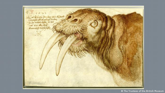 Ink drawing of head of walrus with long tusks